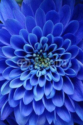 Fiori Blu.Blue Aster Sept Fiori Blu Bellissimi Fiori Sfumature Di Blu