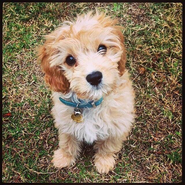 Baby Cavoodle Pawsnaffect Dogs Animals Adorable