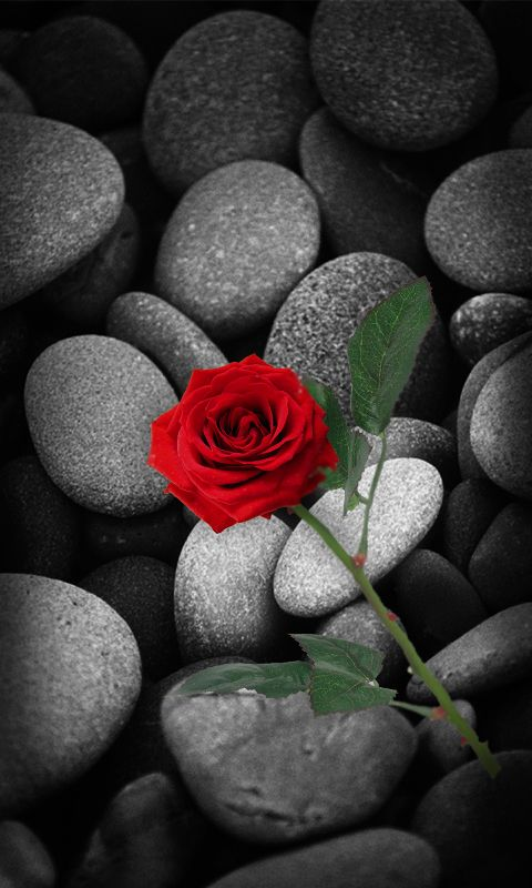 Download 480x800 Red Rose Cell Phone Wallpaper Category Flowers Red Roses Black And Red Roses Cellphone Wallpaper