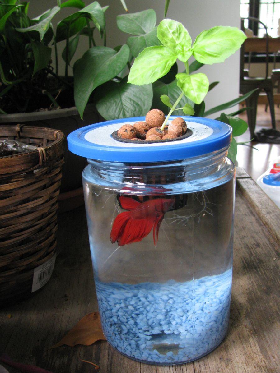 Fabriquer Une Tour A Poisson mini-aquaponie : un petit système aquaponique beta/basilic à