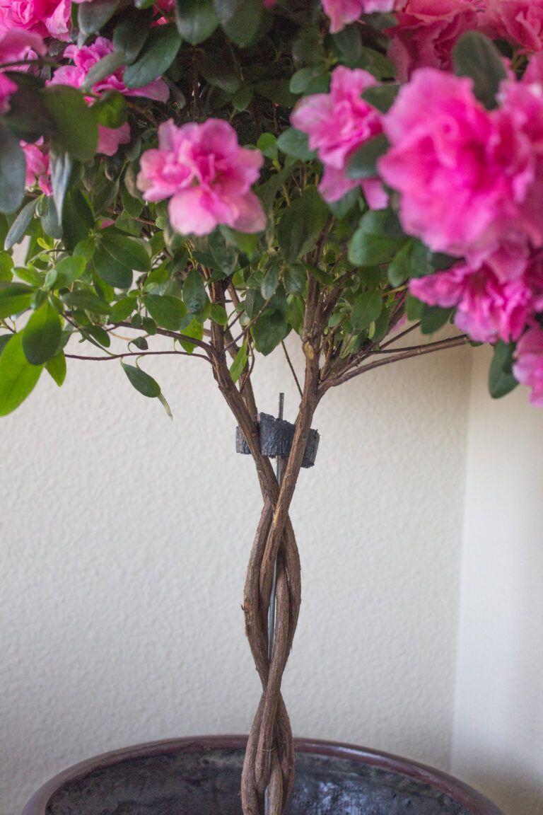 How to Grow Indoor Azalea Trees Among the Lilacs