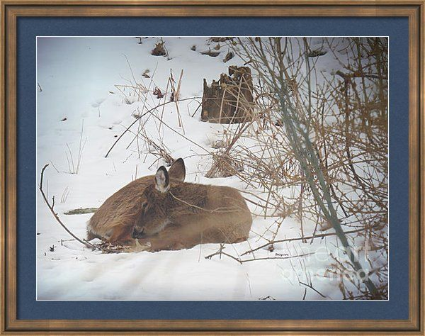 Fawn Sleeping In Heavenly Peace Framed Print By Shelly Weingart
