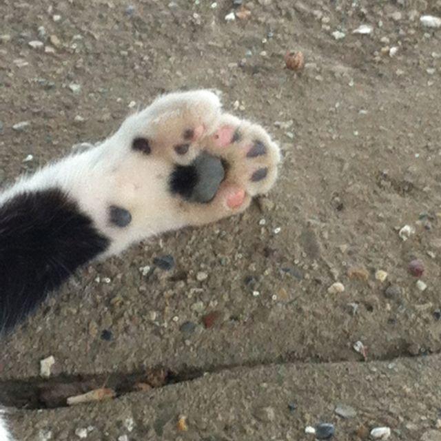 Six toed kitty <3