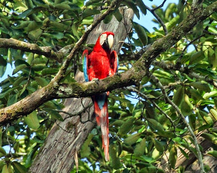Green-Winged Macaw In A Tree.