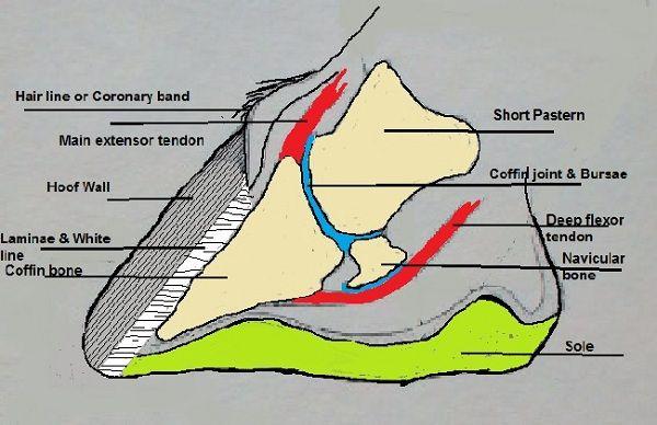 Hoof Anatomy | vet tech | Pinterest | Horse anatomy, Horse and Horse ...