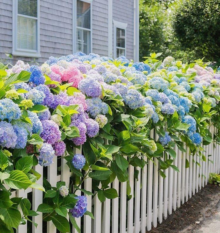 голый гортензиевый сад фото предлагаю