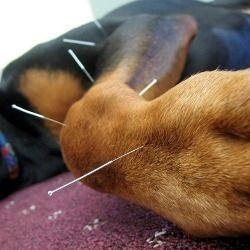 American Academy of Veterinary Acupuncture (AAVA ...