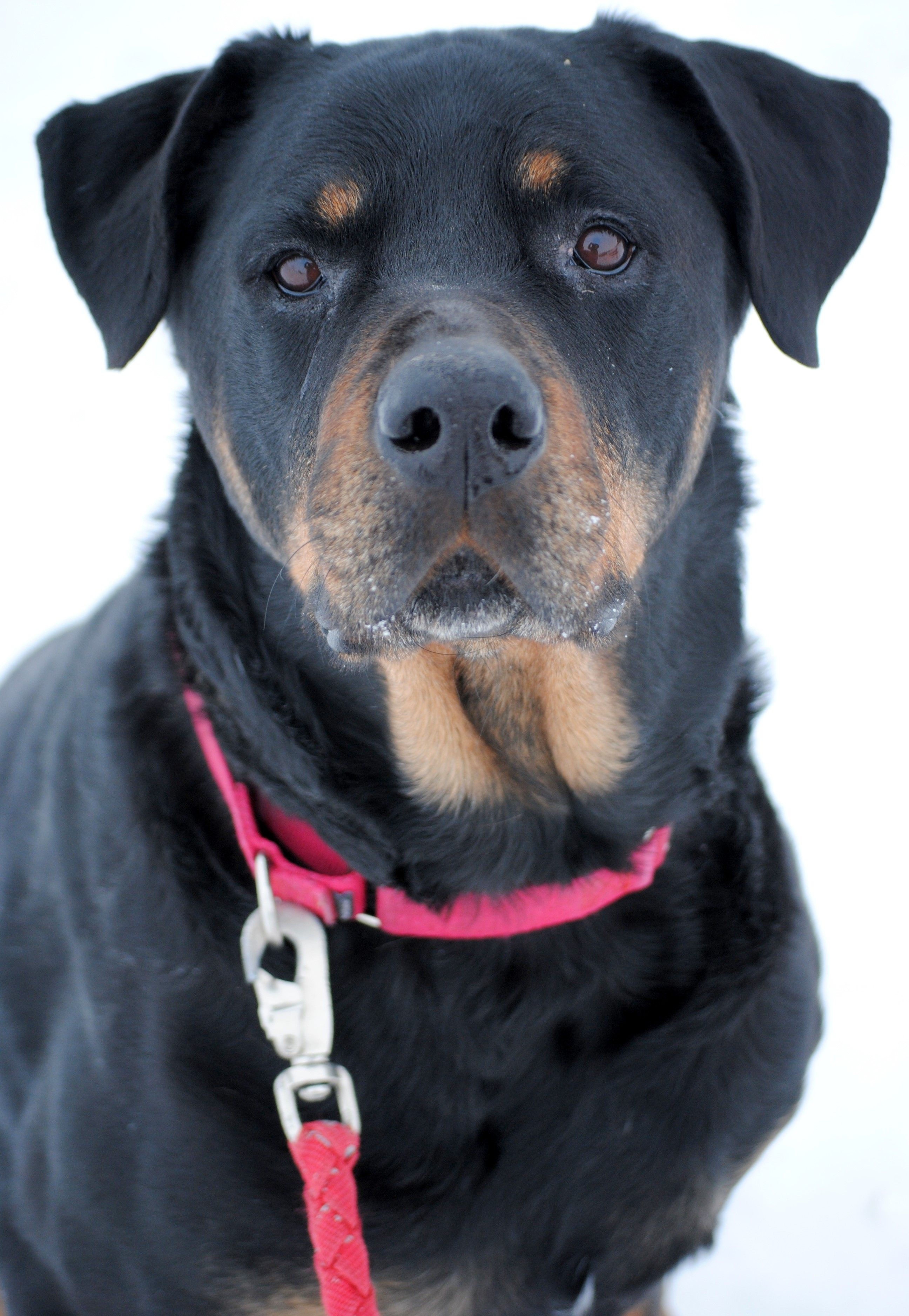 Rottweiler Dog For Adoption In Fargo Nd Adn 805727 On