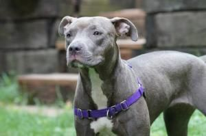 Suri is an adoptable Pit Bull Terrier Dog in St. Paul, MN. You can fill out an adoption application online on our official website. Hi!  I am sweet Suri!  I am a petite little thang - but dont let tha...