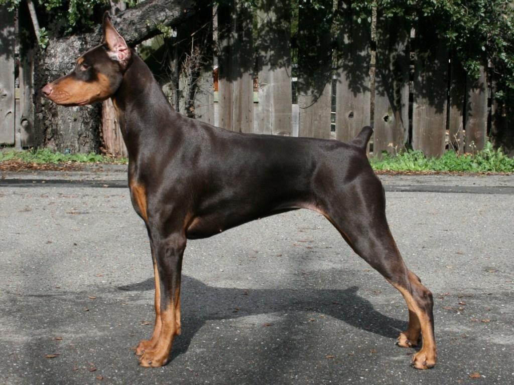 Caryola S Gold Coast Piper Doberman Pinscher Dog Breeds Doberman Pinscher Doberman