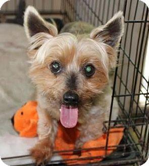 Newark Nj Yorkie Yorkshire Terrier Meet Tanner A Dog For