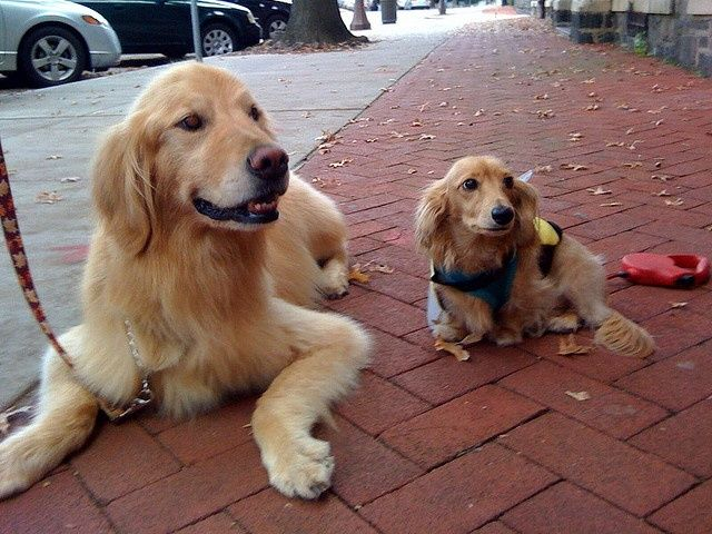 Golden Retriever And Cream Longhaired Dachshund Golden Retriever