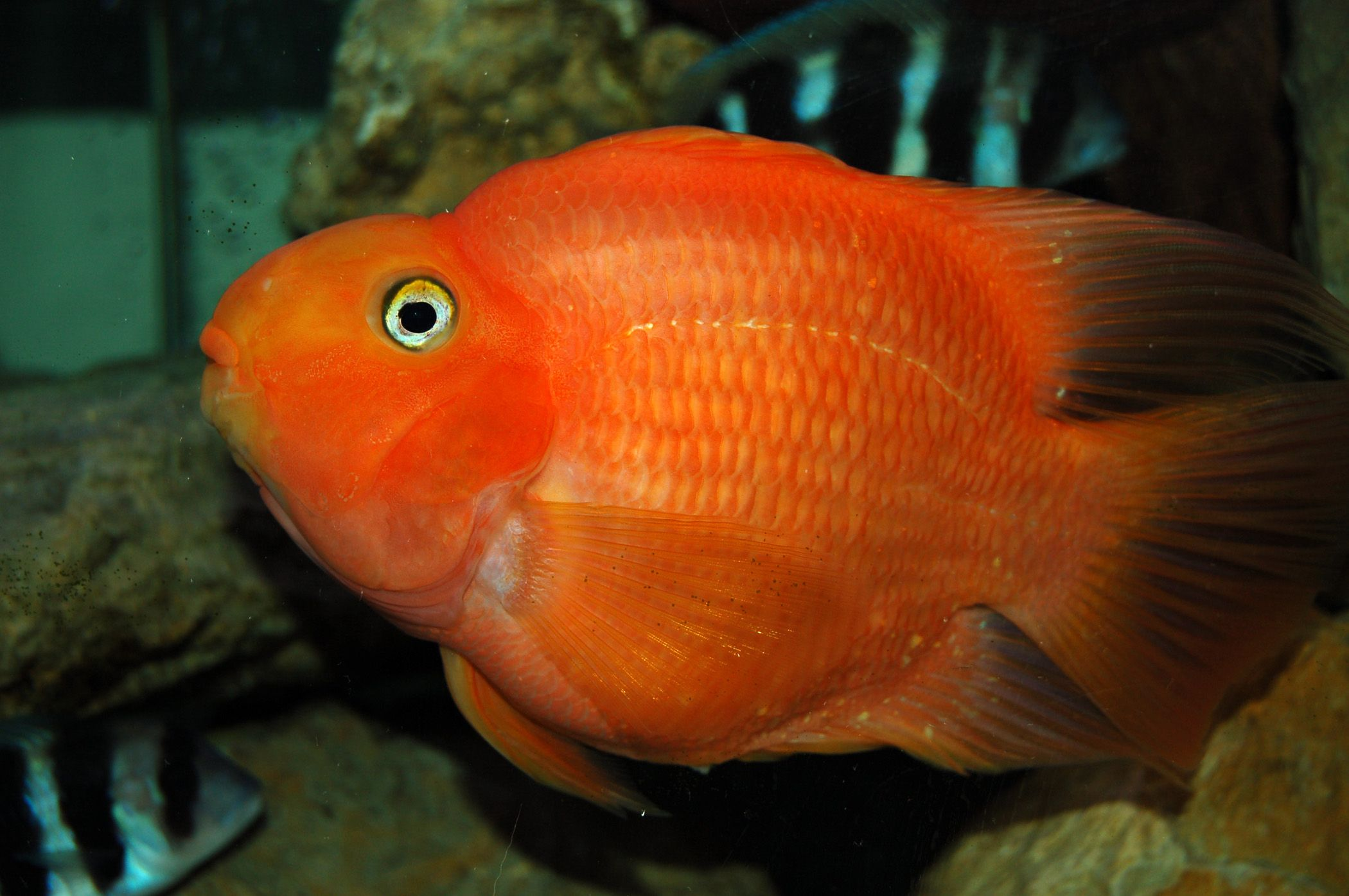 Giant Parrot Fish Parrot Fish Fish Aquarium Fish