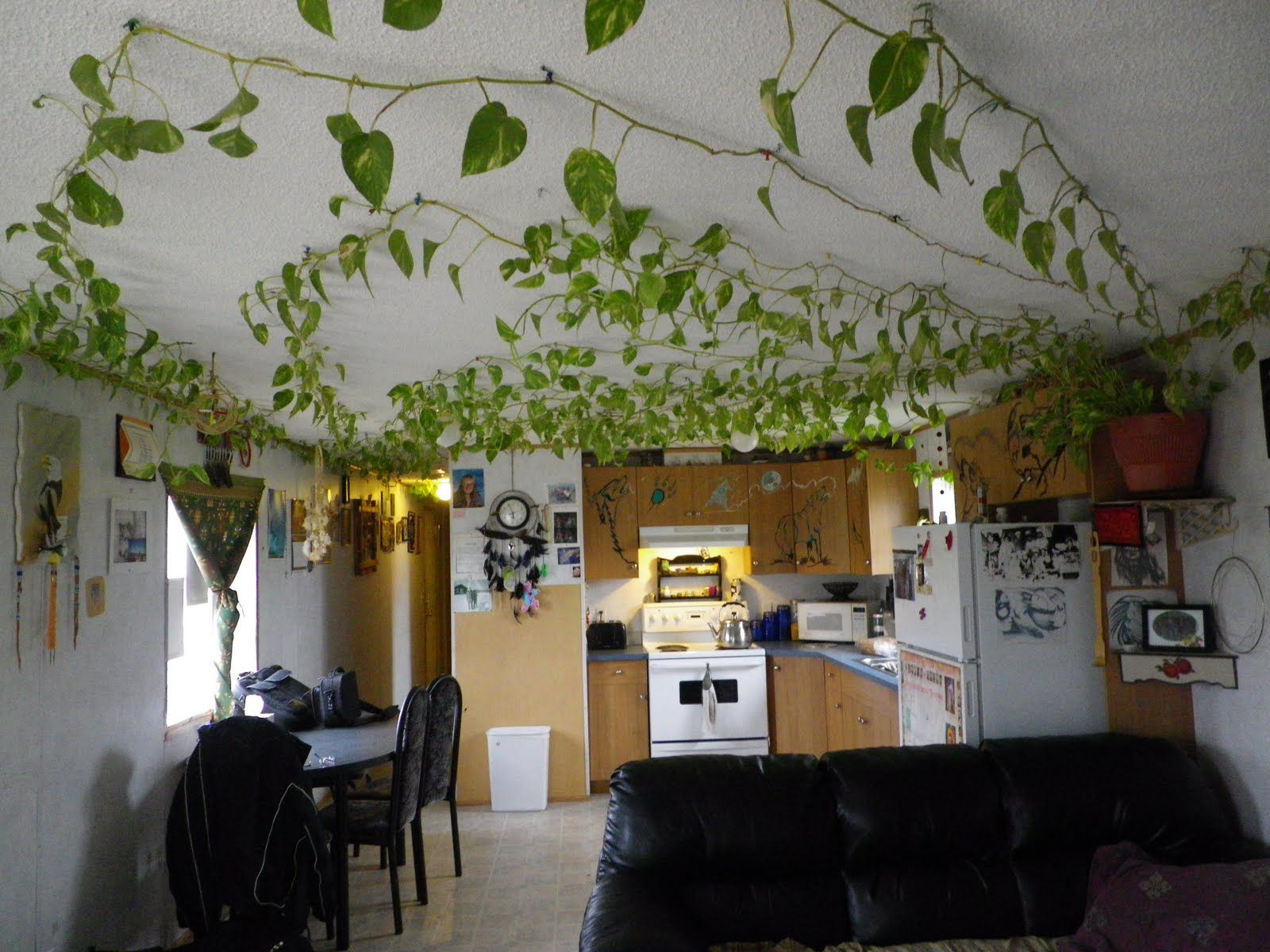 vining house plant that is trained to cover the ceiling