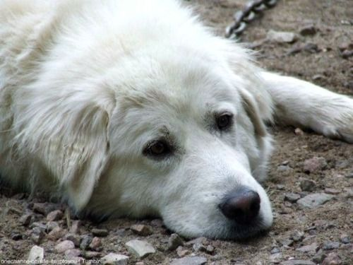 Great Pyrenees   Great pyrenees, Best friends for life ...