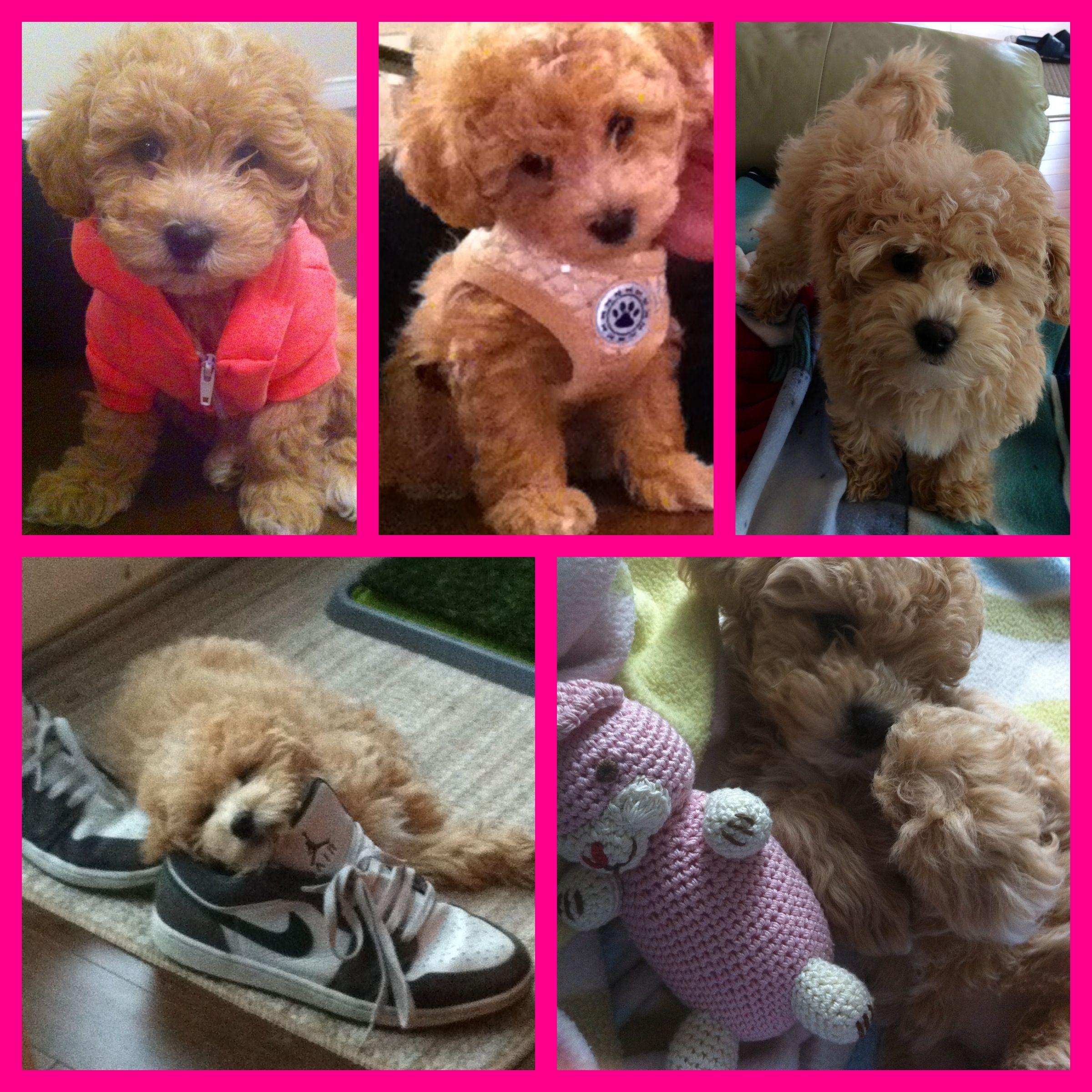 follow Sophie on Instagram! Sophie_The_Bear Bichon