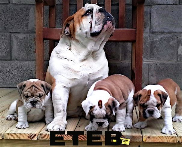East Texas English Bulldogs Winnsboro Tx English Bulldog