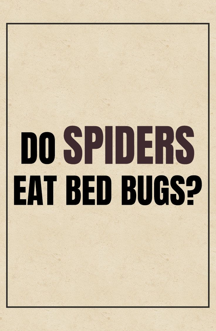 Do Spiders Eat Bed Bugs? Bed bugs, Spider eating, Bugs