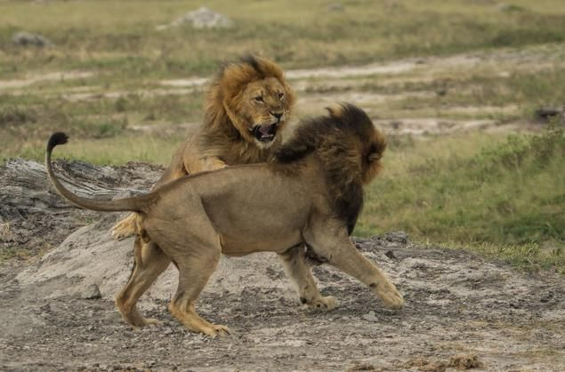 Officials Say Cecil S Brother Jericho Killed By Hunters But Researcher Claims He S Alive As Far As I Can Tell Lion World Lion Day African Lion
