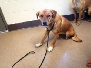 Cherry is an adoptable Shepherd Dog in Apple Valley, CA