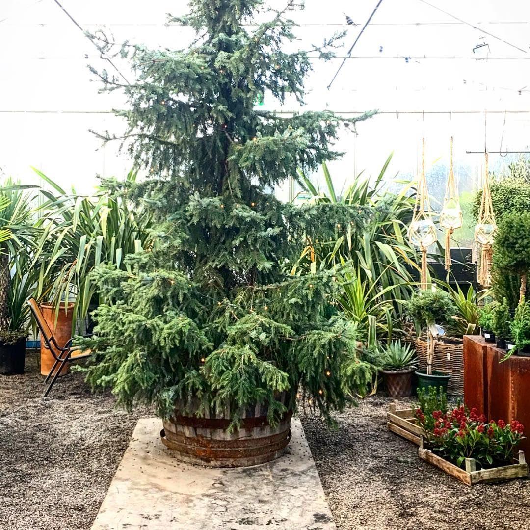 Christmas tree.🌲 #slottsträdgårdenulriksdal #charlottegardenflow