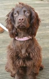 Wanted Sprocker Puppy Wanted In Dorchester Dorset Preloved With Images Puppies Sprocker Puppies Dogs