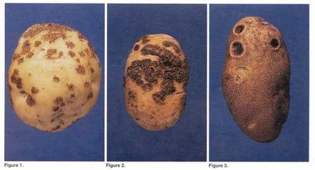 General information for growing potatoes, including disease issues.