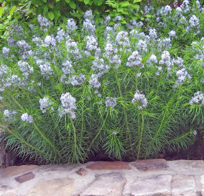 Amsonia Hubrichtii Has Blue Blooms In May There S Another Big