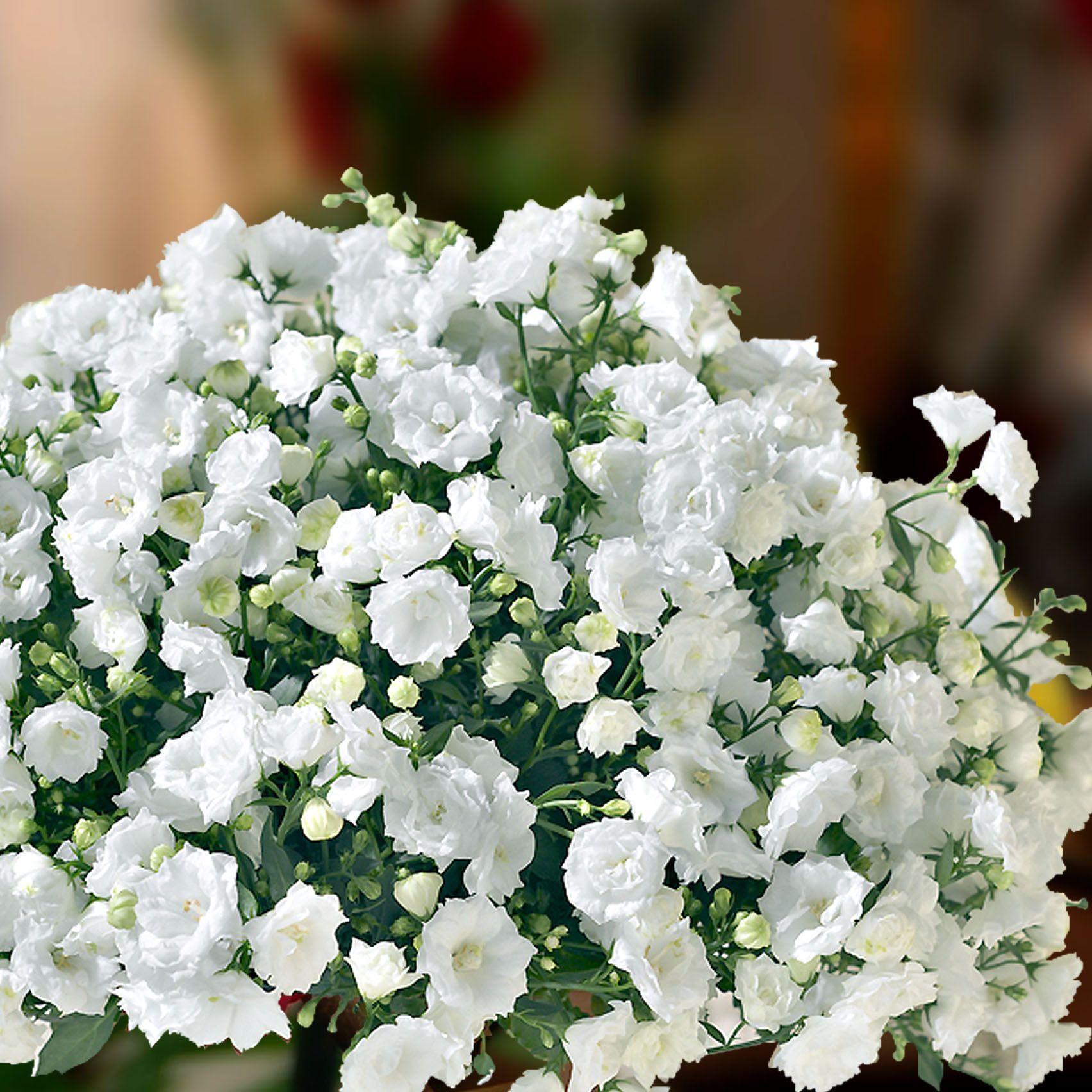 White Wonder campanula flowers