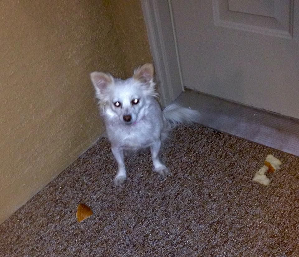 Sheila Main Lost Dogs Las Vegas February 15 This Little Dog Is
