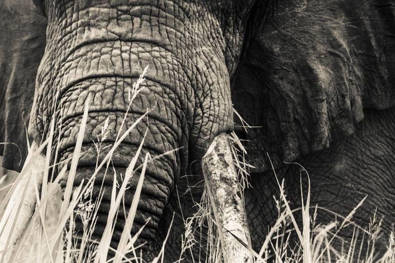 Photo of Original Animal Photography by Jochen Van Dijk | Fine Art Art on Paper | The Tusker (unframed) – Limited Edition 1 of 75