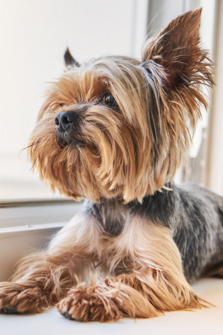 A Yorkshire Terrier Dog Looks Out The Window Yorkshireterrier