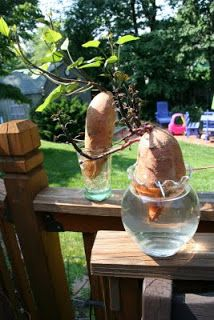 Pink and Green Mama: Gardening With Kids - Sweet Potato Vine