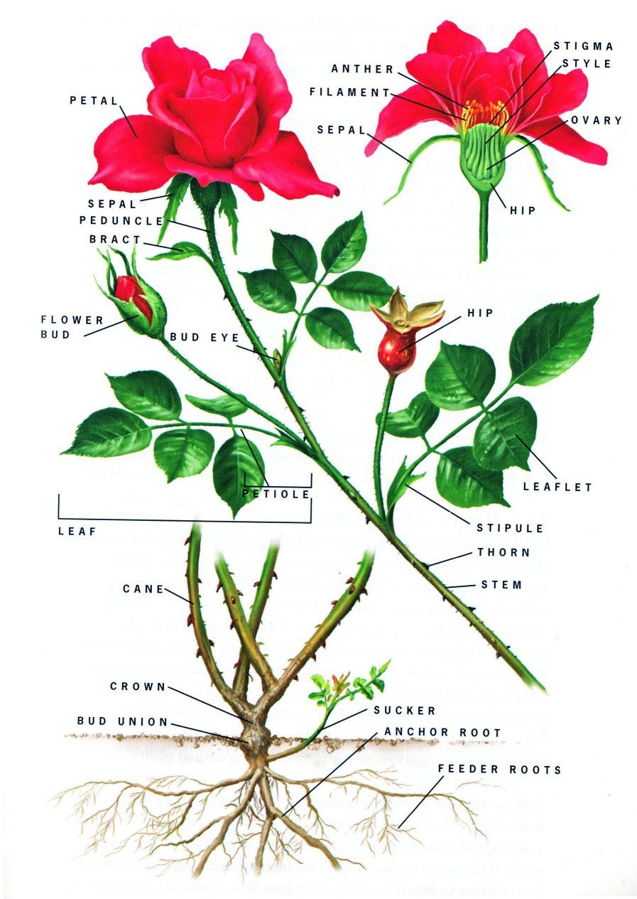 Rose Botany Diagram Of A Flower Hibiscus Flower Drawing Parts Of A Flower