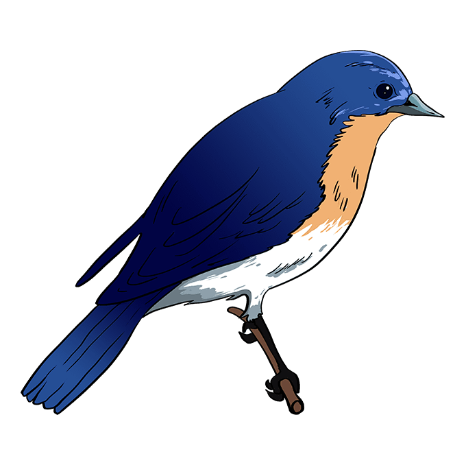 How To Draw An Eastern Bluebird Easy Drawing Guides In 2020 Easy Drawings Blue Bird Eastern Bluebird