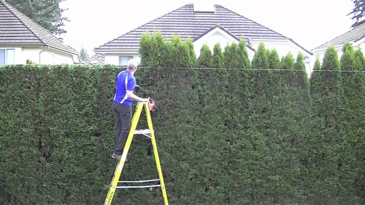 Trimming Cedar Hedge Time Lapse Thuja Green Giant Cedar Hedge Green Giant Arborvitae