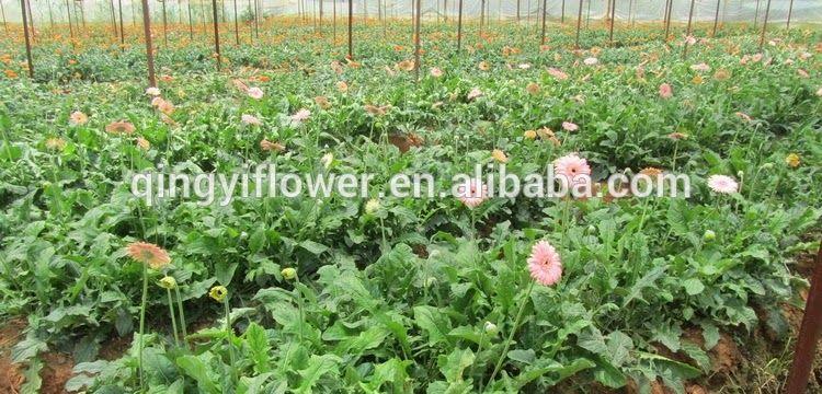 Terkeren 19 Bunga Melati Berkembang Biak Dengan Apa Warna Warni Dijual Tinggi Berkembang Biak Lisianthus Benih Untuk Menabur Buy Di 2020 Menanam Bunga Tanaman Bunga