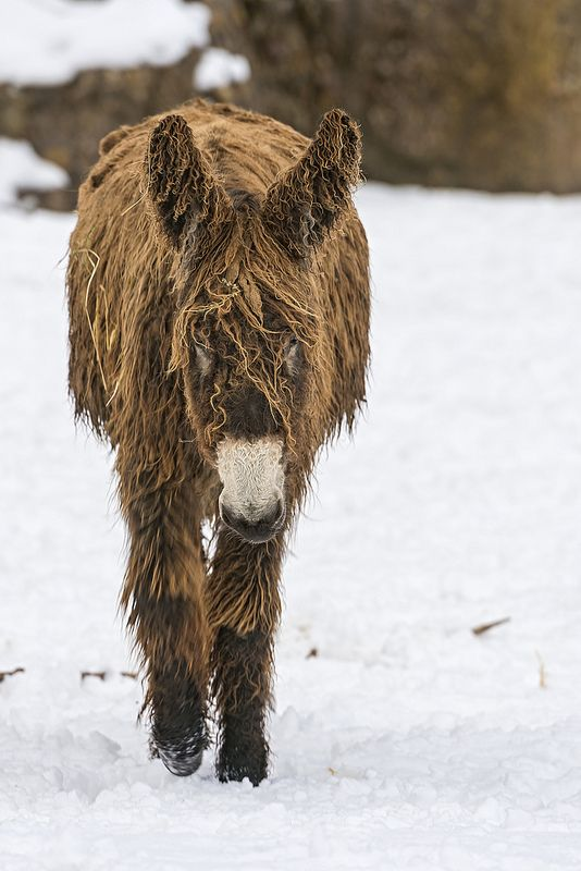 A Baudet du Poitou, a French breed of donkey, one of the biggest of the world, walking in snow.