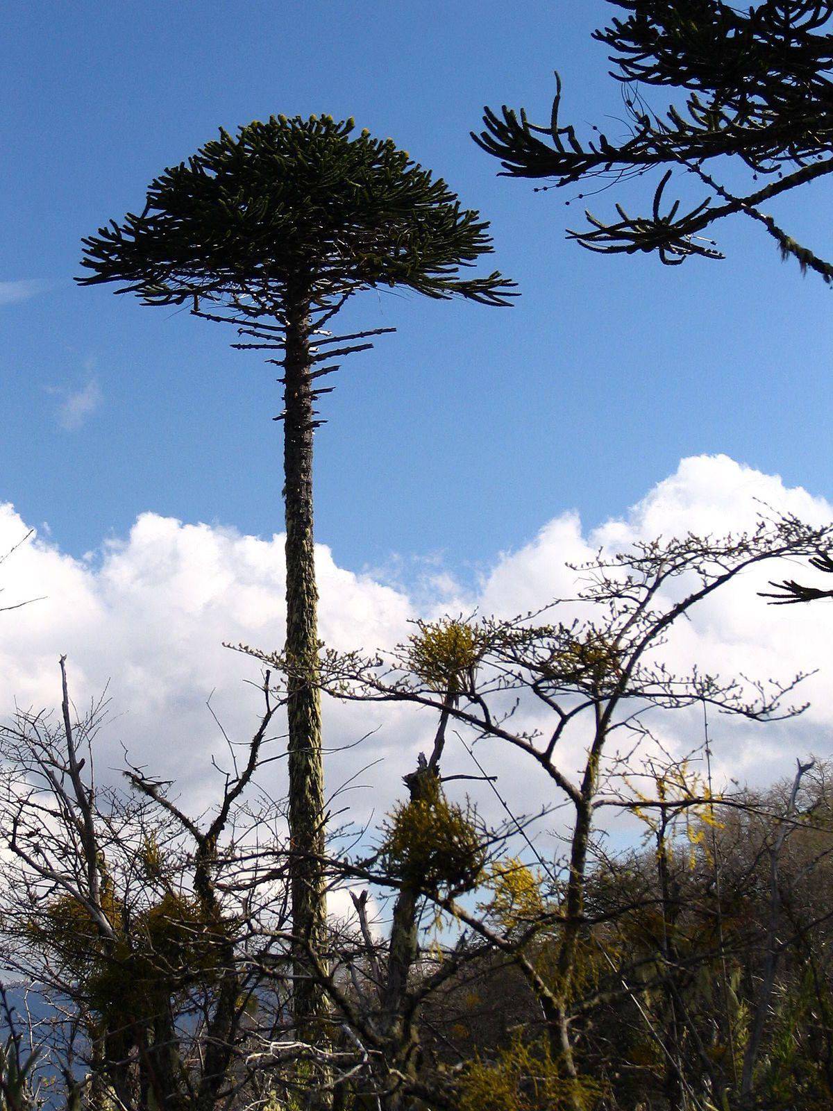 Araucaria araucana Wikipedia Monkey puzzle tree
