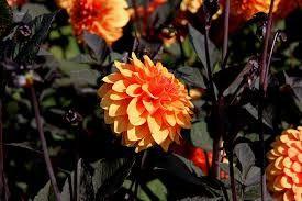 Afbeeldingsresultaat voor Dahlia soorten