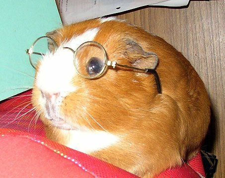 Guinea pig - what a nerd.