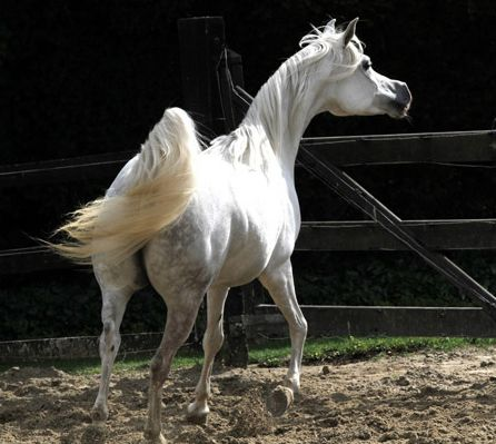 Forever Mi Dream Ever After Na X Psyches Amber Dream 2012 Bay Mare Breeder Unknown Horses Arabian Horse Arabians