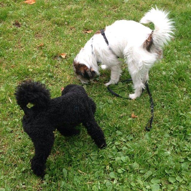 heididahlsveen:  #byhund #8 Chico #puddel og #atsjoo