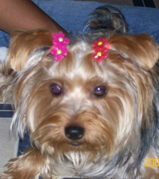 Precious Yorkie This Is My Yorkie Floppy Ears And All Yorkies