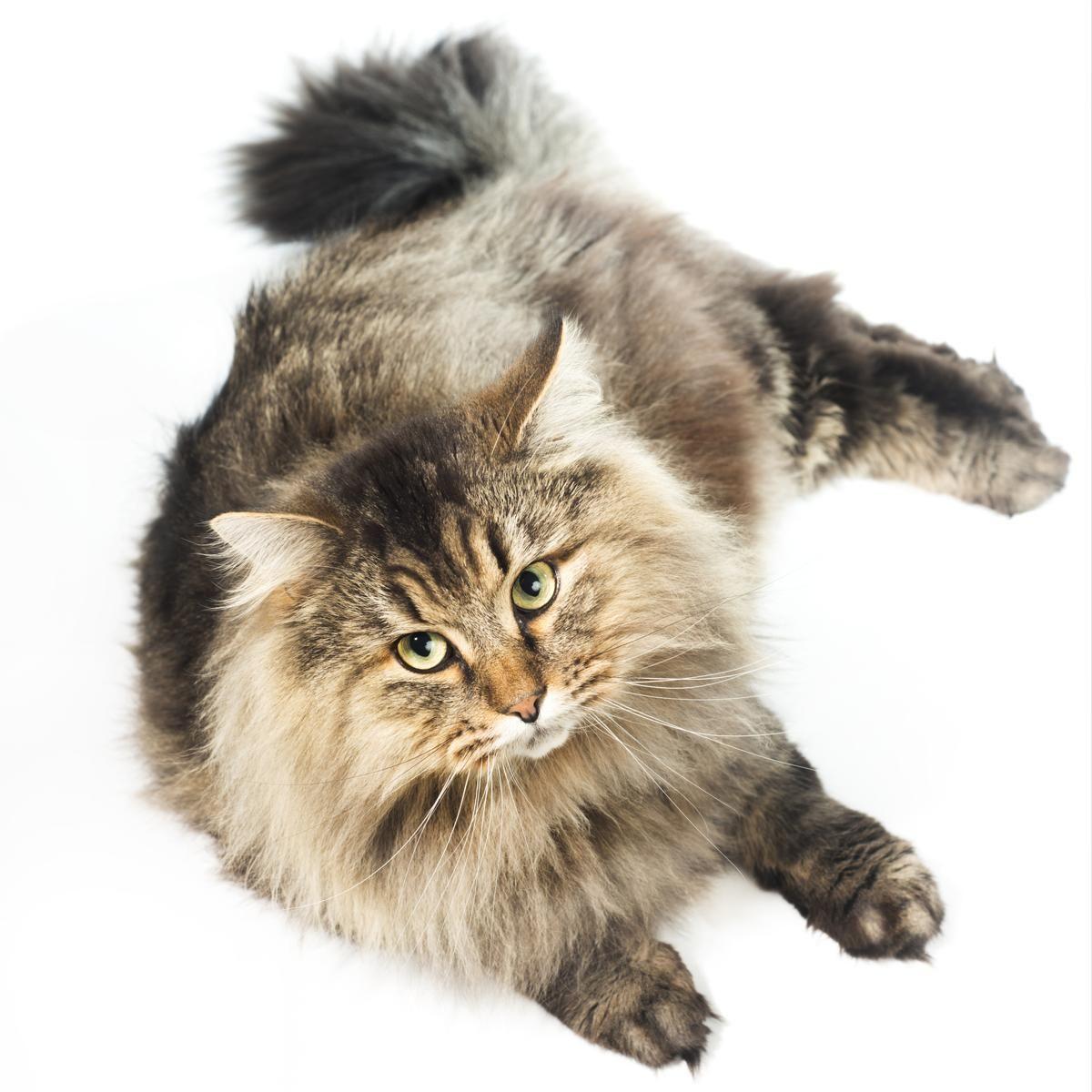 Siberian cat Siberian cat, Tabby cat, Tabby cat pictures