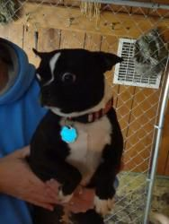 Maggie is an adoptable Boston Terrier Dog in Washington, IN. Maggie is a 4 year old Boston Terrier. Maggie is already spayed, house trained and up-to-date on her shots. She does need her rabies update...