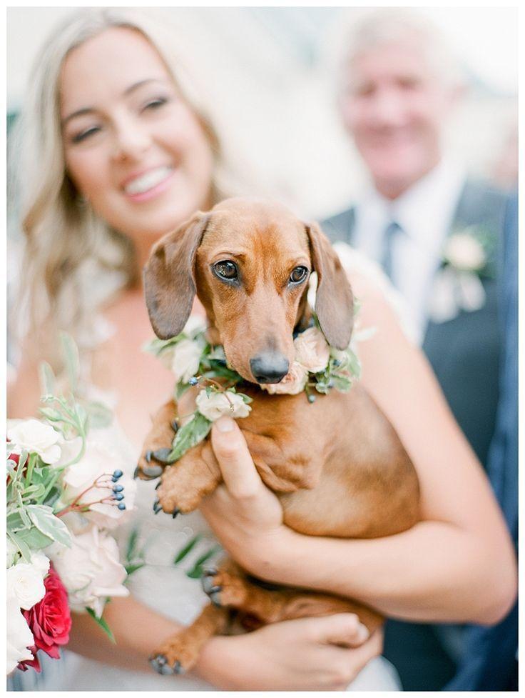 Dachshund in the Wedding Wedding pets, Dog wedding