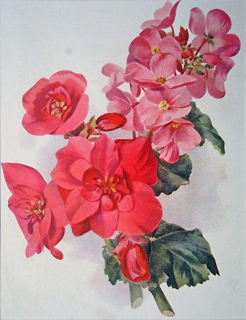 antique flower print begonias