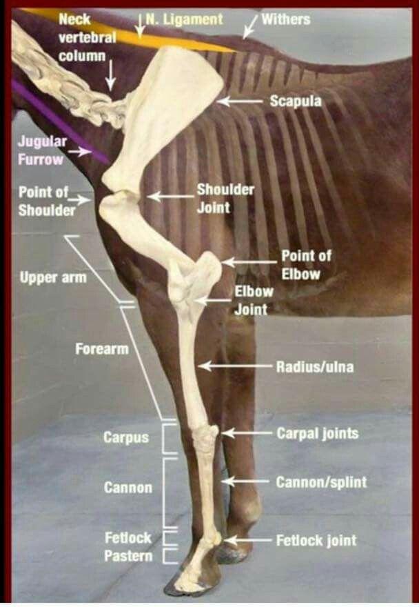 Horse inside   horse confirmation   Pinterest   Horse, Horse anatomy ...