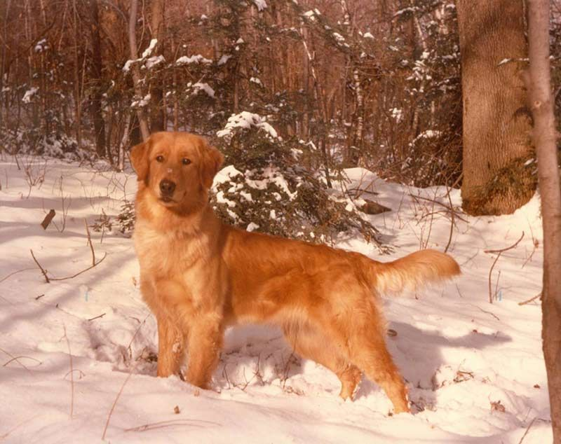 Golden Retriever Dog Breed Information Dog Breeds Retriever